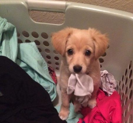 cute puppy in laundry basket