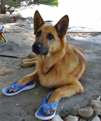 cute shepherd wearing flip flops