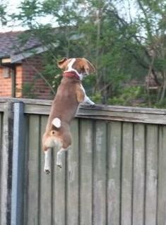 dog climb over fence