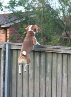 dog climb over fence