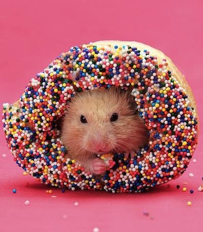 hamster loves donut