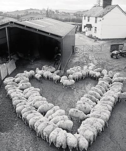 heart of lambs