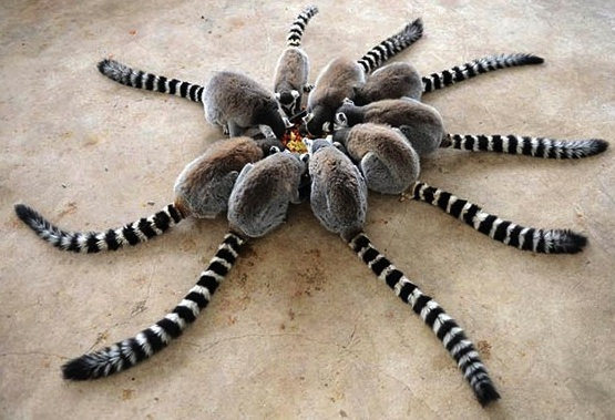 lemurs having a meal