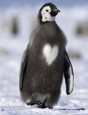 penguin with heart shape.jpg
