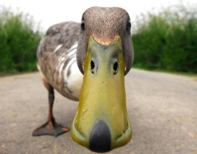 curious duck.jpg