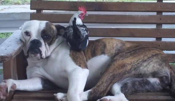 cute bulldog and rooster