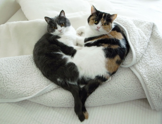 cute cats heart shape