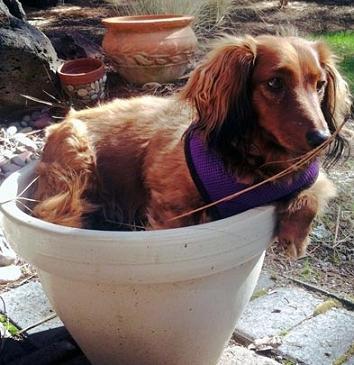 cute dachshund in pot-3