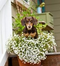 cute dachshund in pot-4