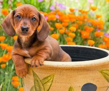 cute dachshund in pot