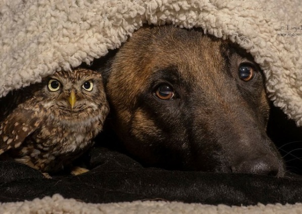 cute owl and shepherd