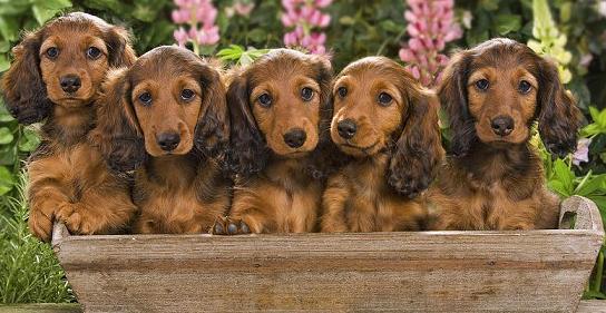 dachshunds in pot
