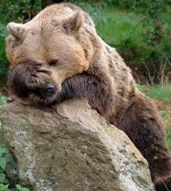 funny bear stressed