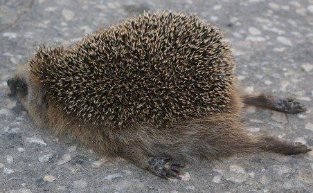 funny hedgehog exhausted