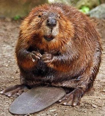 hopeful beaver