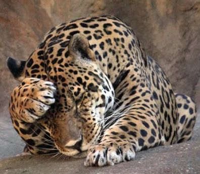 leopard in distress