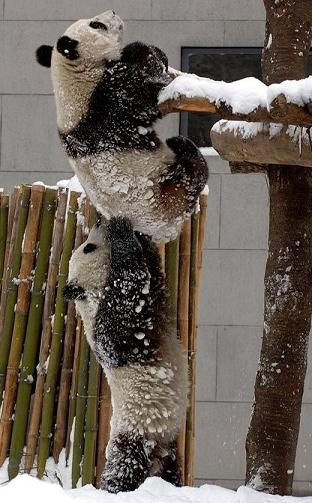 panda giving a helping hand