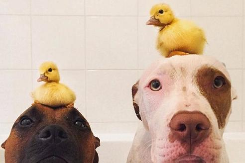 Rescue-dogs-adopt-ducklings