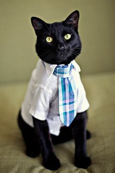 black cat with shirt and tie