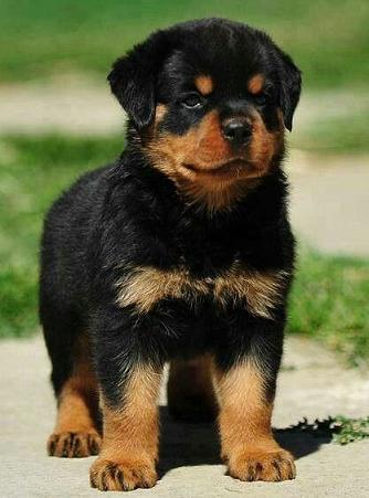 brave little rottie