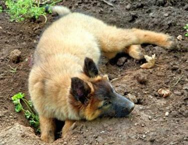 cute german shepherd digging