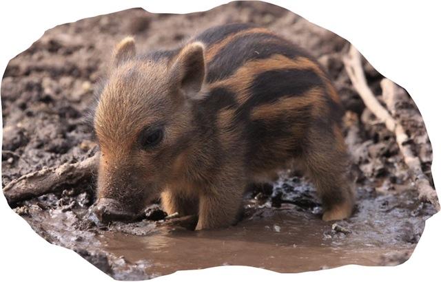 cute warthog in muddy puddle