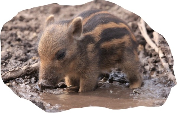 cute warthog in muddy puddle