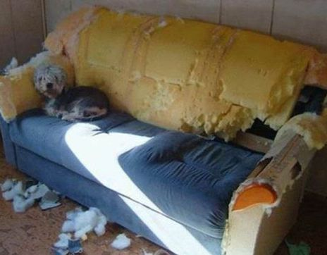funny dog mess up sofa