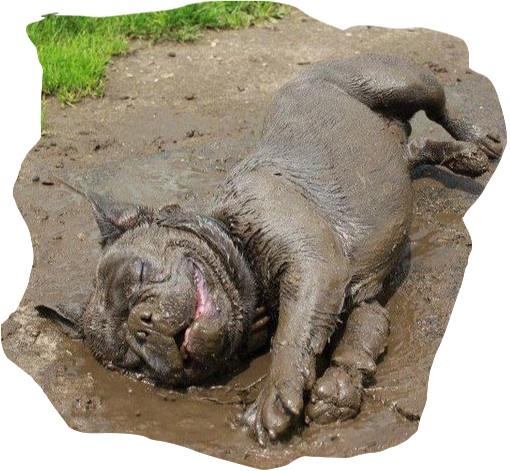 happy muddy bulldog