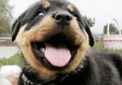 happy rottie.jpg