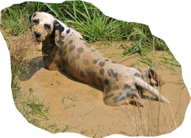 muddy dalmatian.jpg