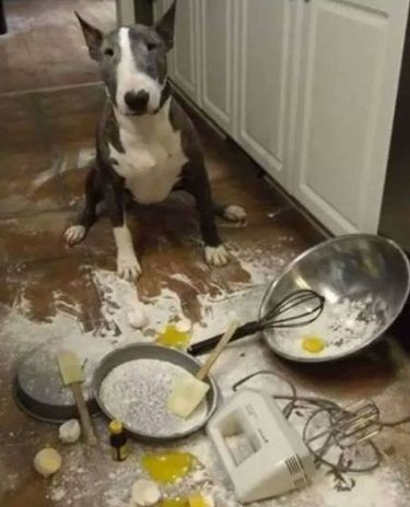 pitbull with baking mess