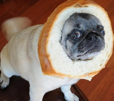 pug with bread