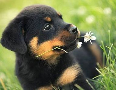 puppy rottie with flower