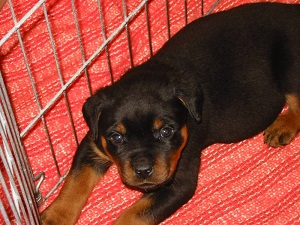 rottie in the cage.jpg