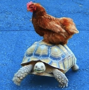turtle and hen