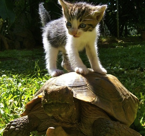 turtle and kitten