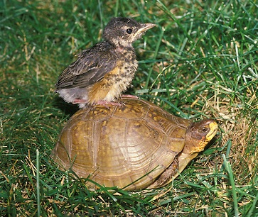 turtle and robin