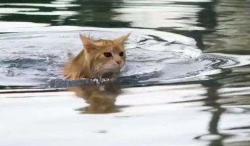 cat in the pond