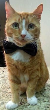 cute cat in bowtie