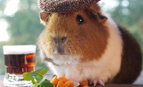 cute guirnea pig