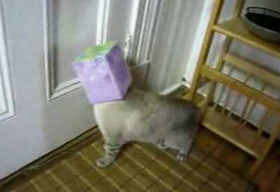 cute cat with box on head-1
