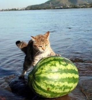cute cat with watermelon
