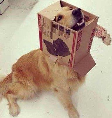 cute dog with box on head-6