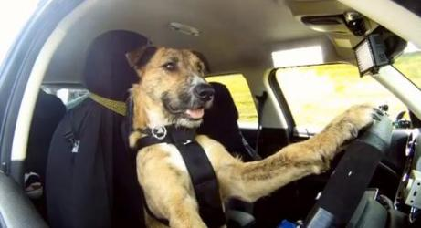 dog driving-2