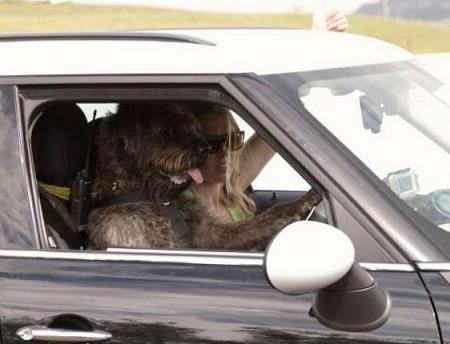 dog driving-3