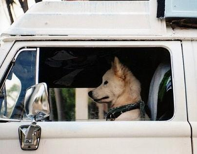 dog driving-4