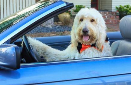 dog driving-7