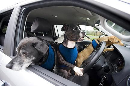 dog driving-8.jpg