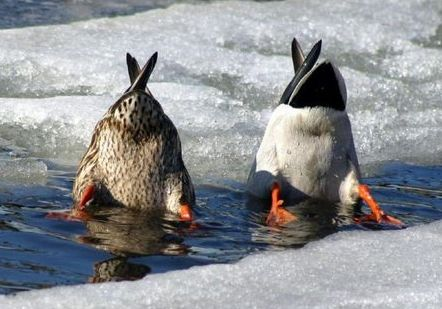 ducks taking a dip